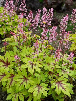 Fun and Games® Eye Spy - Coral Bells - Heuchera - Proven Winners - Gallon Pot