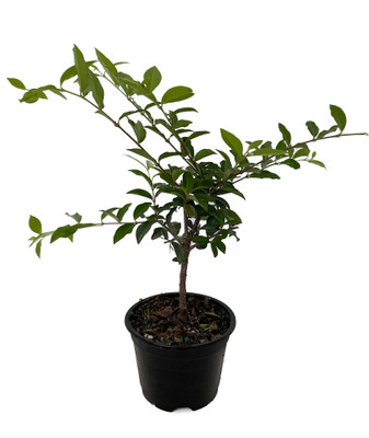 "Barbados Cherry Plant - Malpighia emarginata - Indoors/Out - 4"" pot"