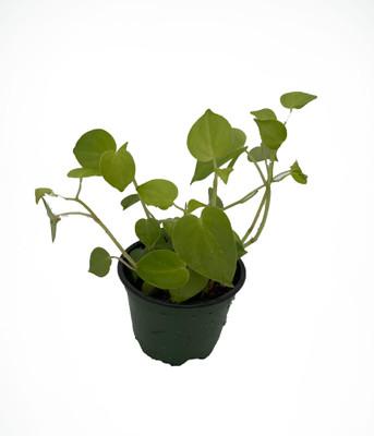 "Green Cupid Peperomia - Peperomia scandens - 4"" Pot"