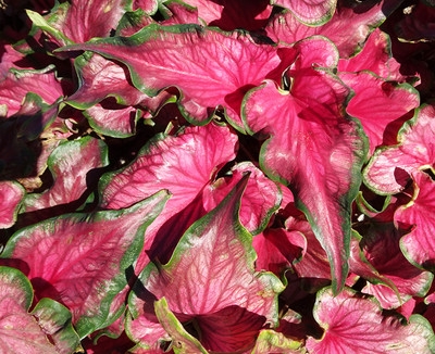 Sizzle Caladium - 3 Bulbs - Too Hot!
