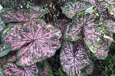 Florida Elise Caladium - 3 Bulbs - Pink Fancy Leaf
