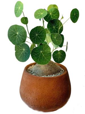 Rare Charlotte's Web Thailand Money Plant - Stephania Erecta - XL Bulb