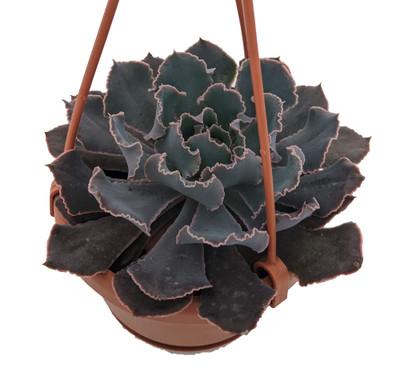 "Pink Frill's Desert Rose Succulent - Echeveria - 4"" Mini Hanging Basket"