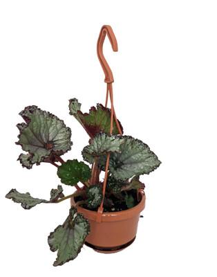 """Silver Rex Begonia Plant - 4"""" Mini Hanging Basket - Great Houseplant"""