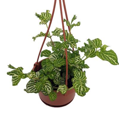 "You're So Vein Chinese Violet - Asystasia gangetica - 4"" Mini Hanging Basket"