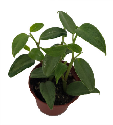 """Green Variegated Peperomia scandens - 2.5"""" Pot - Easy Succulent House Plant"""