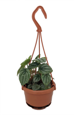 "Silver Dollar - Ripple Peperomia caperata - 4"" Mini Hanging Basket"