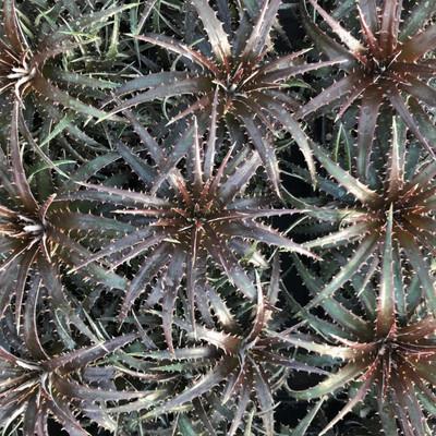 "Grape Jelly Sawblade Dyckia Plant - 4"" Mini Hanging Basket - Succulent Bromeliad"
