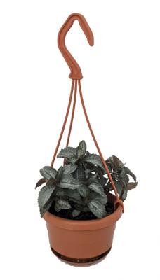 """Silver Cloud Friendship Plant - Pilea - 4"""" Mini Hanging Basket - Easy House Plant"""