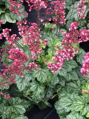 Berry Timeless Coral Bells - Heuchera - Shade Perennial - Gallon Pot