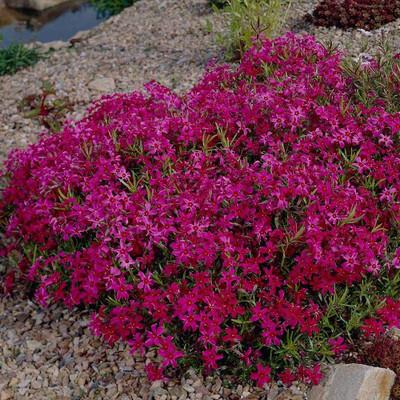 Scarlet Flame Creeping Phlox Perennial - Gallon Pot