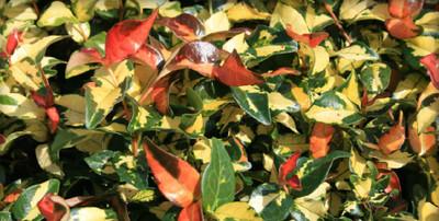 "Summer Sunset Jasmine - Trachelospermum asiaticum - 2.5"" Pot"