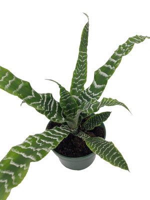 """Betty Earth Star Plant - Cryptanthus - Easy to Grow - 5"""" Pot"""