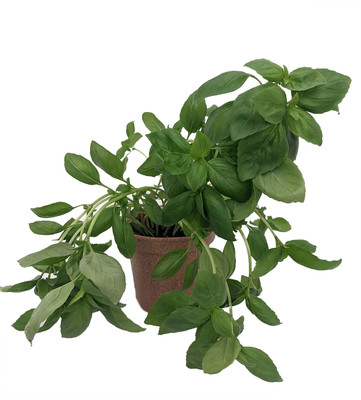 """Lettuce Leaf Basil - Potted Live Plant - Slightly Spicy, Aromatic - 4"""" Pot"""