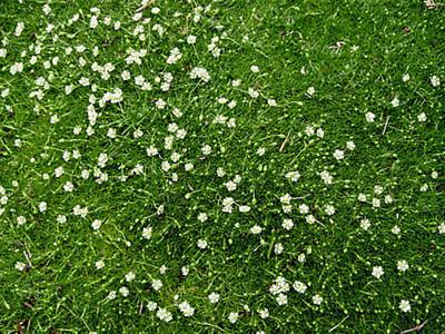 Irish Moss - Sagina Subulata - Quart Pot - Hardy
