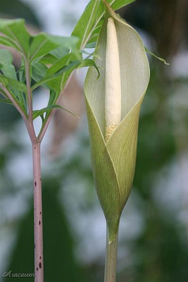 Virgin Voodoo Lily - Amorphophallus asterostigmatus Bulb - Inside/Out