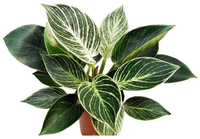 """Rare White Veined Birkin Philodendron - 2.5"""" Pot - From Our Collector's Series"""