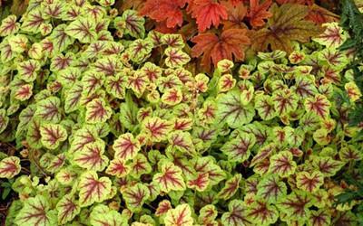 """Citrus Shock Coral Bells - Heucherella - Shade Perennial - 4.5"""" Pot"""