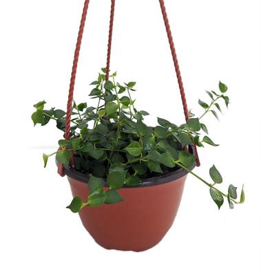 """Million Hearts Plant - Dischidia ruscifolia - 5"""" Pot - Collector's Series"""
