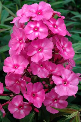 """Candy Store™ Series Bubblegum Pink™ Phlox Perennial - 2.5"""" Pot"""