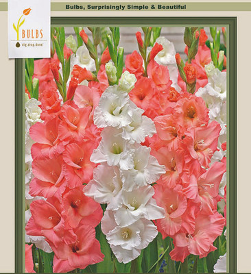 Pretty in Pink Mix Large Flowering Gladiolus - 25 Bulbs 12/14cm
