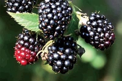 """Black Satin Thornless Blackberry Plant - NEW! - 4"""" Pot"""