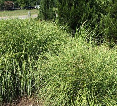 "Tiger Tail Grass Perennial - Miscanthus sinensis 'Tiger Tail' - 4"" Pot"