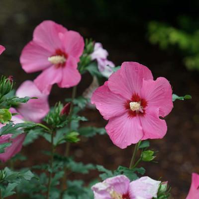 "PARAPLU ROUGE™ Hibiscus - Rose of Sharon - Proven Winners - 4"" pot"