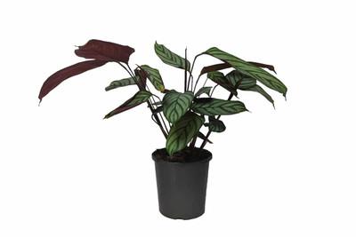 "Majestic Exotica Prayer Plant - Calathea - Easy House Plant - 6"" Pot"