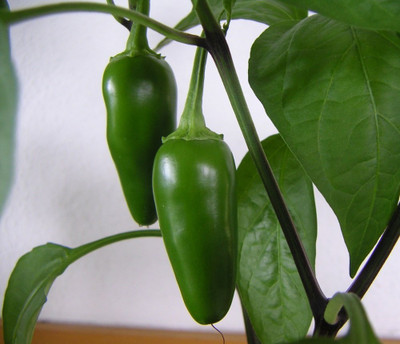 "Fooled You Jalapeno Pepper Plant - Mild/Great Flavor - 2.5"" Pot"