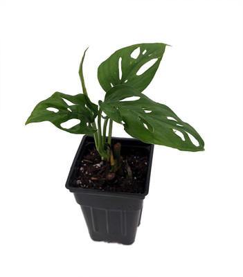 """Swiss Cheese Plant - Monstera adansoni - Easy to Grow Old Favorite - 2.5"""" Pot"""