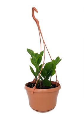 """Rare ZZ Plant - Zamioculcas zamiifolia - 6"""" Hanging Basket"""