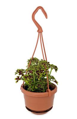 "Tidbits Tammy Coleus - 4"" Mini Hanging Basket - Colorful House Plant"