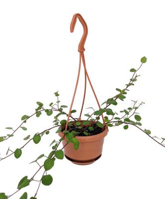 """Large Leaf Biblical Angel Vine - Muehlenbeckia - 4"""" Mini Hanging Basket"""