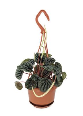 "Sage Ripple Peperomia - 4"" Mini Hanging Basket - Easy House Plant"