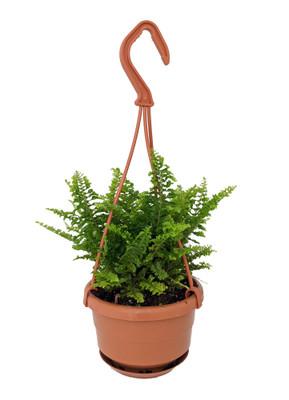 """Fluffy Ruffles Fern - Nephrolepis exaltata - 4"""" Mini Hanging Basket"""