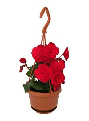 """Vermillion Red Elatior Begonia Plant - 4"""" Mini Hanging Basket"""