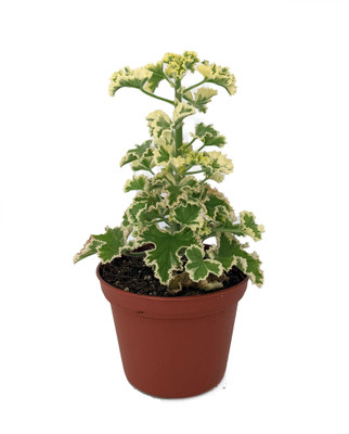 "Prince Rupert Geranium crispum - 2.5"" Pot - Royal Ruffled Variegated Foliage"