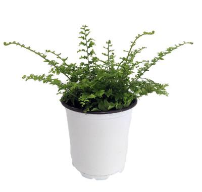 "Fluffy Ruffles Fern - Nephrolepis exaltata - 3.5"" Pot"
