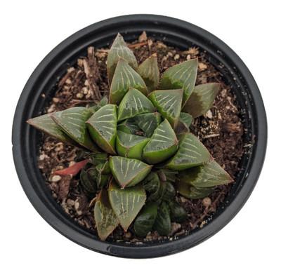 """Star Cactus Succulent Plant - Haworthia retusa - 3.5"""" Pot - Collector's Series"""