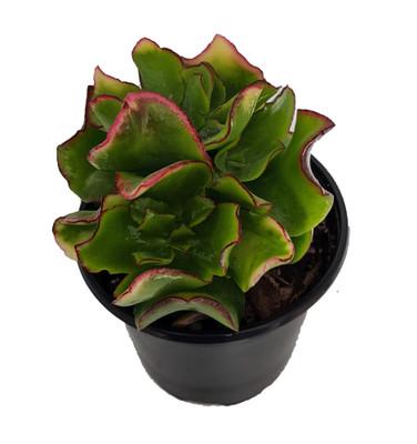 "Curly Green Ripple Jade - Crassula arborescens - Easy Succulent - 4.5"" Pot"