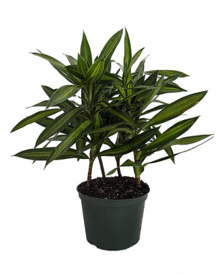 """Song of Jamaica Exotic House Plant - Easy to Grow - 6"""" Pot"""