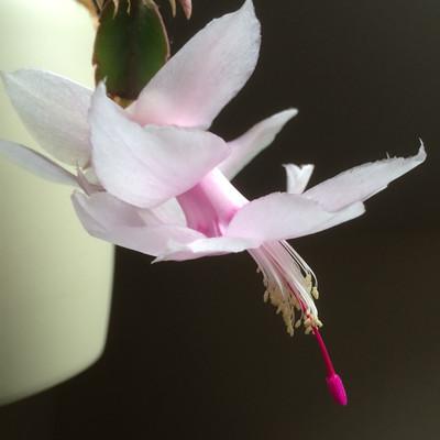 """Melissa White Christmas Cactus Plant - Zygocactus - 2"""" Pot"""