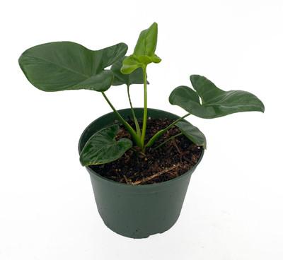 "Goeldii Philodendron - 6"" Pot-Trending/Collector's Series"