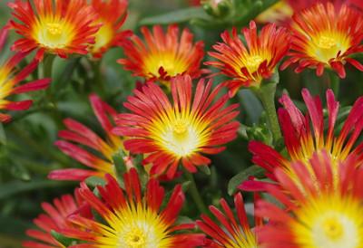 Fire Wonder Ice Plant- Perennial- Indoors or Out- Delosperma- Live Plant- Qt Pot