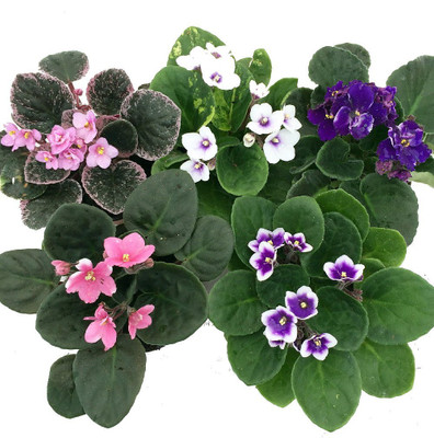 """Novelty African Violet - 4"""" Pot - Best Blooming House Plant"""