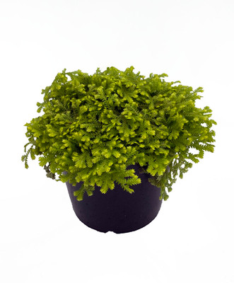 """Golden Club Moss Fern - Selaginella - 6"""" Pot"""