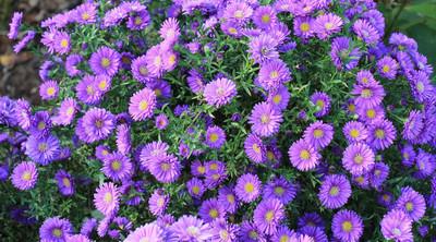 Aster Kickin® Purple Fall Blooming Perennial Aster - Hardy - Gallon Pot