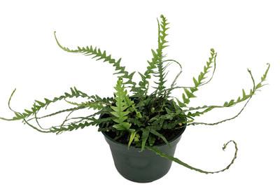 "Rare Dragon Tail Fern - Asplenium ebenoides - 4"" Pot - Grow Indoors/Out"