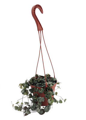 """Rosary Vine - 6"""" HB - Ceropegia woodii - String of Hearts -Collector's Series"""